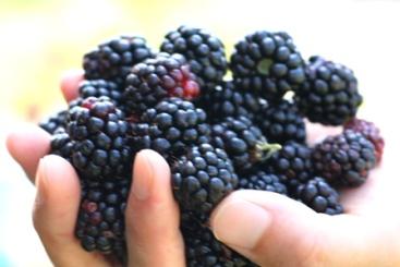 20100726 ブラックベリー (2)