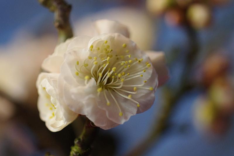 八重の花弁の梅の花