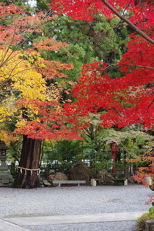御神木と紅葉