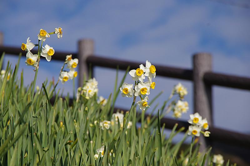 次々に花開く水仙