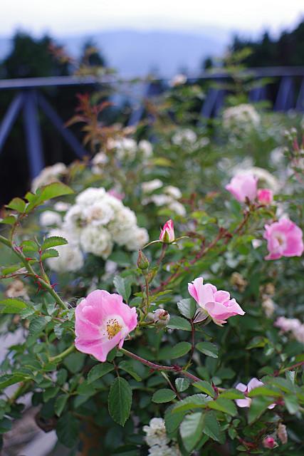 ガーデンのバラたち
