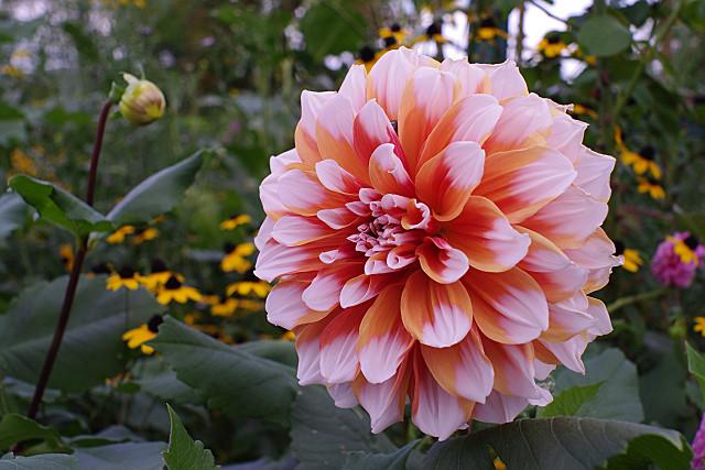 大きなダリアの花