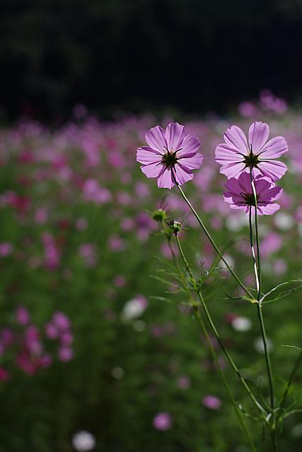 まん丸のコスモスの花