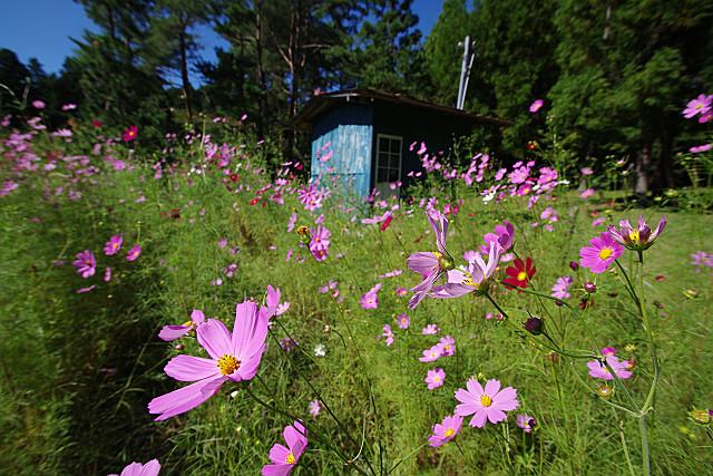 青い小屋とコスモス