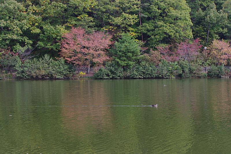 よそ見せず 湖面を進む 鴨一羽