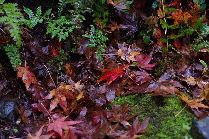 夜露に濡れた散紅葉