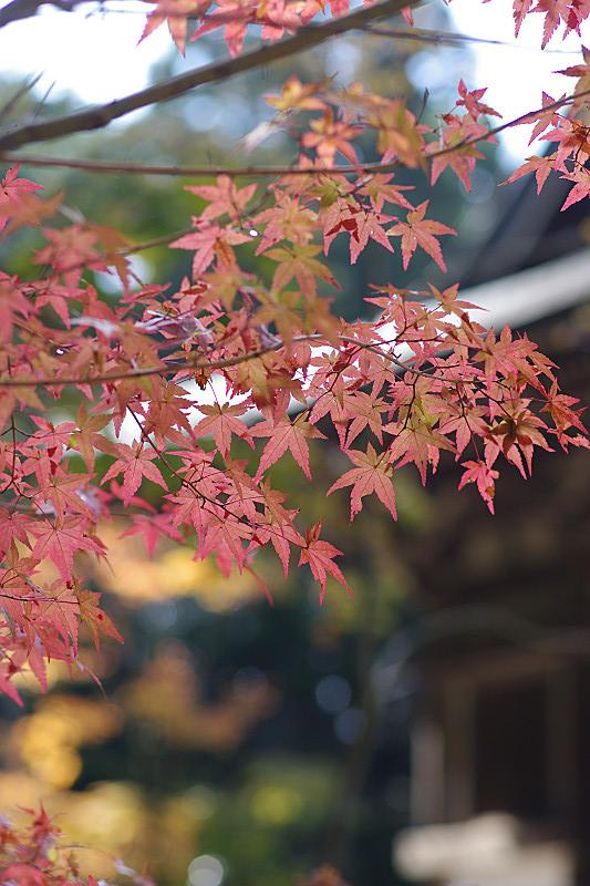 優しい色合いの紅葉