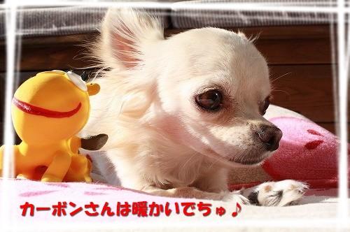 チワワ☆マル&エルモ-エルモ