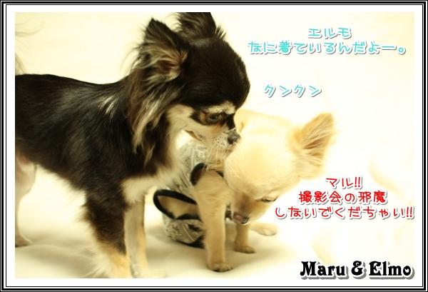 チワワ☆マル&エルモ