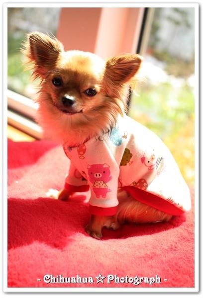 Chihuahua☆Photograph