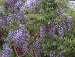 藤もきれいに咲きました(^^)