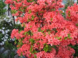 鮮やかに咲いたツツジ