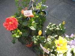 南国の花ハイビスカス
