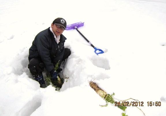 大根の雪掘り