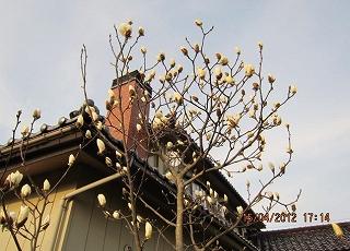 白モクレン咲く
