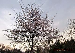 山里の桜も開花