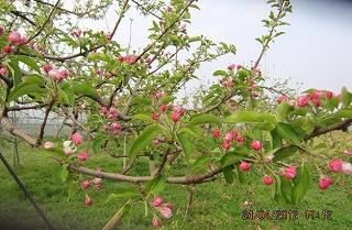 リンゴ開花間近
