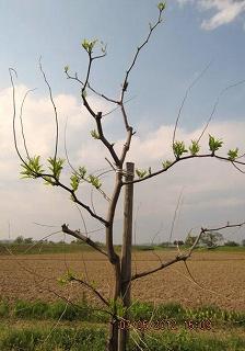 ナツマの芽