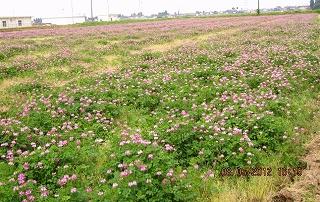 紫雲英の花