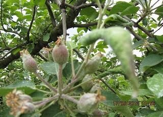 リンゴのアブラ虫