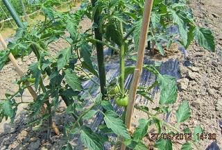 トマト生育順調