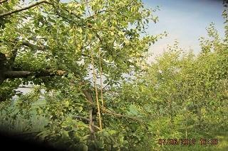 りんご整市枝