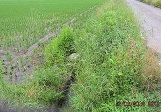 溝畔の雑草