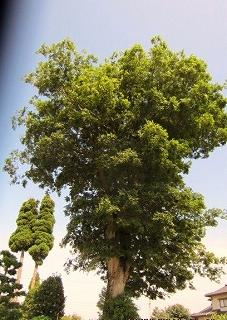 村のシンボルツリー