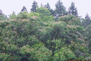 合歓の大木