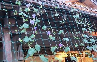 グリーンカーテンの花