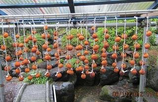 長谷川さんの干し柿