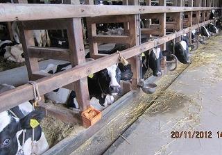K原牧場の牛さん