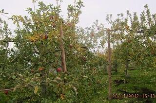 りんごも紅葉