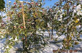雪を被ったリンゴ