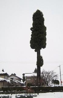 杉の大木・採用