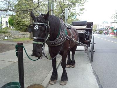ビクトリアの馬車馬