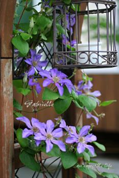 clematis_gabrie11.jpg