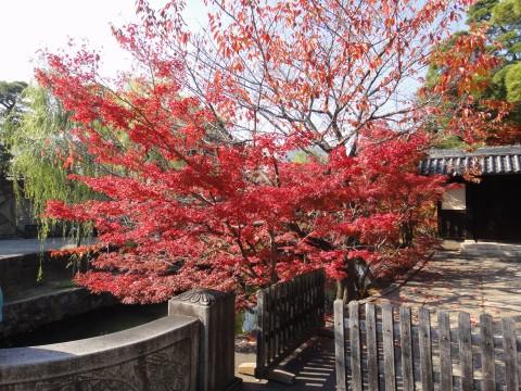 美観地区の紅葉