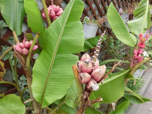 お庭のピンクバナナ