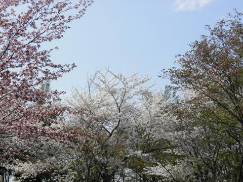 2012.05.10sakura 116