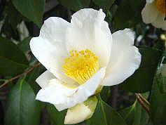WHITE CAMELLIA2