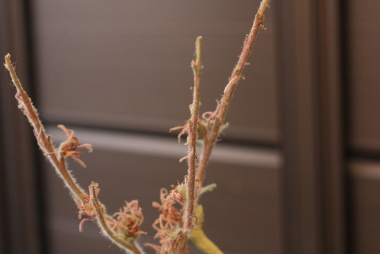 センペルの花1