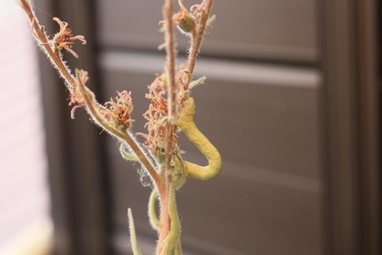 センペルの花2