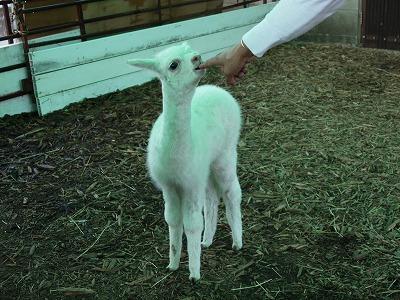 アルパカの赤ちゃん3