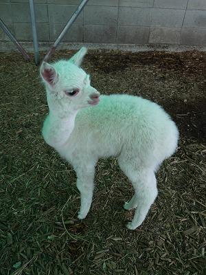 アルパカの赤ちゃん1