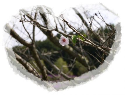 秋の桜!!