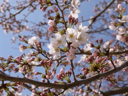 桜、咲いた~!!