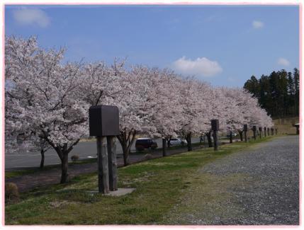 桜並木!!