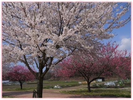 桜と桃です!!