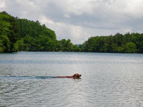 湖で泳ぐコーク